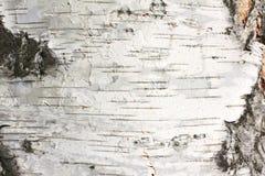 Textura natural del abedul Fotos de archivo