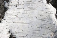 Textura natural del abedul Fotografía de archivo