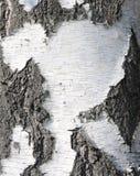 Textura natural del abedul Foto de archivo libre de regalías