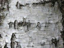 Textura natural del abedul Imagen de archivo