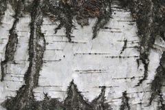 Textura natural del abedul Foto de archivo