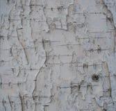 textura natural listrada e rachada Preto-branca da casca de vidoeiro do russo foto de stock