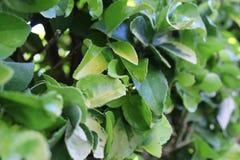 Textura natural verde del seto Fotografía de archivo