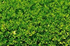 Textura ou fundo das folhas Imagens de Stock