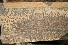 Textura paleontológica - una planta prehistórica rara impresa en piedra Fotos de archivo
