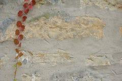 Textura, parede de pedra velha com a hera como o fundo fotografia de stock