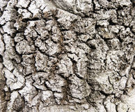 Textura rachada seca da casca de árvore Imagens de Stock Royalty Free