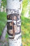 Textura rara de la corteza de abedul en bosque en el verano imagen de archivo