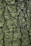 Textura real da casca de árvore Foto de Stock