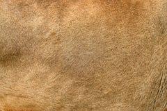 Textura real da pele do leão imagens de stock royalty free