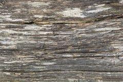 Textura resistida del tronco de árbol de pino de montaña Imágenes de archivo libres de regalías