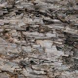 Textura resistida natural do coto de Grey Taupe Brown Cut Tree, grande Gray Lumber destruído danificado ferido detalhado horizont foto de stock