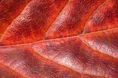 Textura roja de la hoja Imagen de archivo libre de regalías