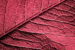 Textura roja de la hoja Fotografía de archivo libre de regalías