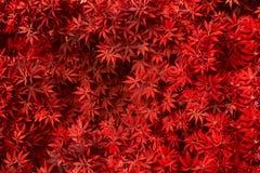 Textura roja de la hoja Fondo de la textura de la hoja Fotos de archivo