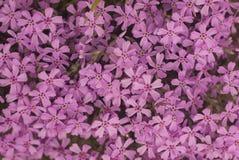 Textura rosada hermosa de las flores como fondo imagenes de archivo