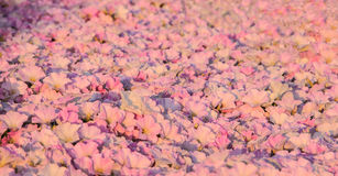 Textura roxa cor-de-rosa de Glory Flowers Pattern Abstract Background da manhã Imagens de Stock Royalty Free
