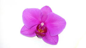 Textura roxa da orquídea Fotografia de Stock Royalty Free