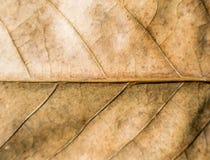 Textura seca da folha Imagens de Stock