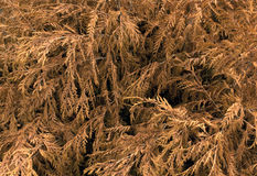 Textura seca del thuja Fotografía de archivo