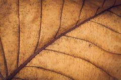 Textura secada da folha Imagens de Stock Royalty Free