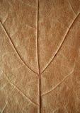 Textura secada de la hoja de arce. Foto de archivo libre de regalías
