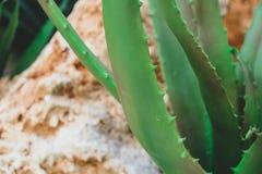 Textura suculenta de la planta en el fondo de piedra Imagen de archivo
