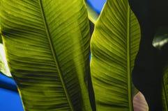 Textura tropical da folha, grande folha da palma, fundo verde textured foto de stock royalty free
