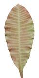 Textura tropical de la hoja Fotografía de archivo libre de regalías