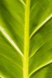 Textura tropical de la hoja Fotos de archivo libres de regalías