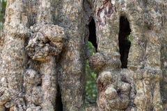 Textura tropical velha do tronco de árvore Foto do close up da casca de árvore Superfície rústica da madeira Árvore de floresta c fotos de stock royalty free