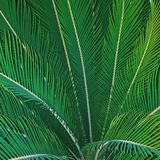 Textura, unicidade, cor, folhas, verde, natureza, árvores, vegetação, palma, trópicos Imagem de Stock
