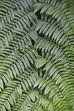 Textura vegetal de las hojas del helecho Fotos de archivo libres de regalías