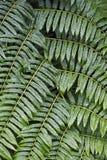 Textura vegetal de las hojas del helecho Foto de archivo libre de regalías