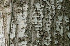 Textura vegetal natural cinzenta da casca em uma árvore de álamo Imagens de Stock Royalty Free
