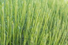 Textura vegetal verde de muitas hastes da alfazema imagens de stock