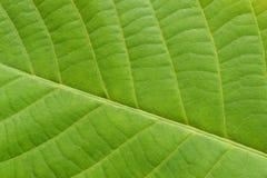A textura veiny da folha verde fechou-se acima fotos de stock