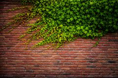 Textura velha da parede de tijolo vermelho e folha verde Imagem de Stock