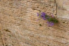 Textura velha do fundo da estrutura da parede do arenito Foto de Stock Royalty Free