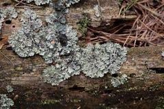Textura velha do log da árvore coberto de vegetação com um líquene Foto de Stock Royalty Free