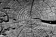textura velha preto e branco do corte da árvore Foto de Stock Royalty Free