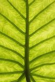 Textura verde abstrata da folha Fotos de Stock