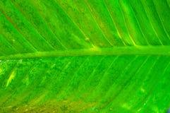 Textura verde abstrata da folha para o fundo Fotos de Stock