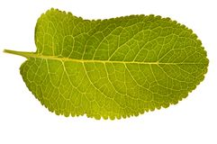 Textura verde aislada de la hoja Fotos de archivo libres de regalías