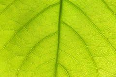 Textura verde clara de la hoja Imagen de archivo