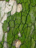 Textura verde da casca de árvore Fotos de Stock
