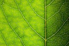 Textura verde da folha imagens de stock