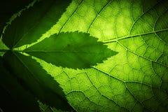 Textura verde da folha Fotografia de Stock Royalty Free