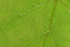 Textura verde da folha Imagem de Stock Royalty Free