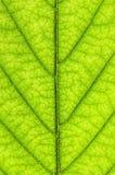 Textura verde da folha Imagem de Stock